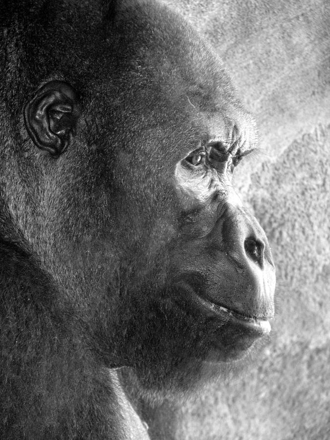 Gorilla Photograph - The Thinker by Mary Christian Stewart