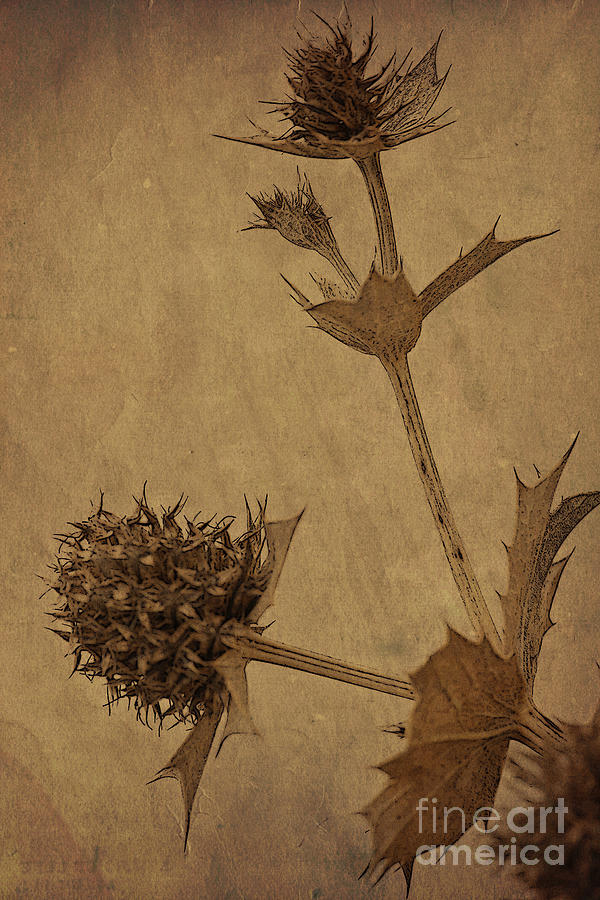 The Thistle Photograph
