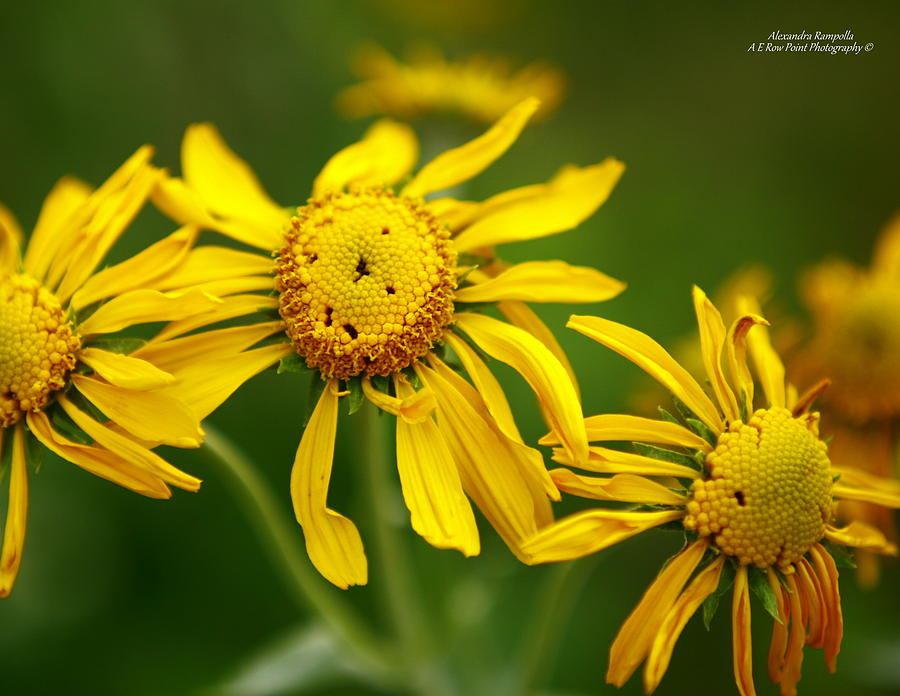 Flower Photograph - The Three Amigos by Alexandra  Rampolla