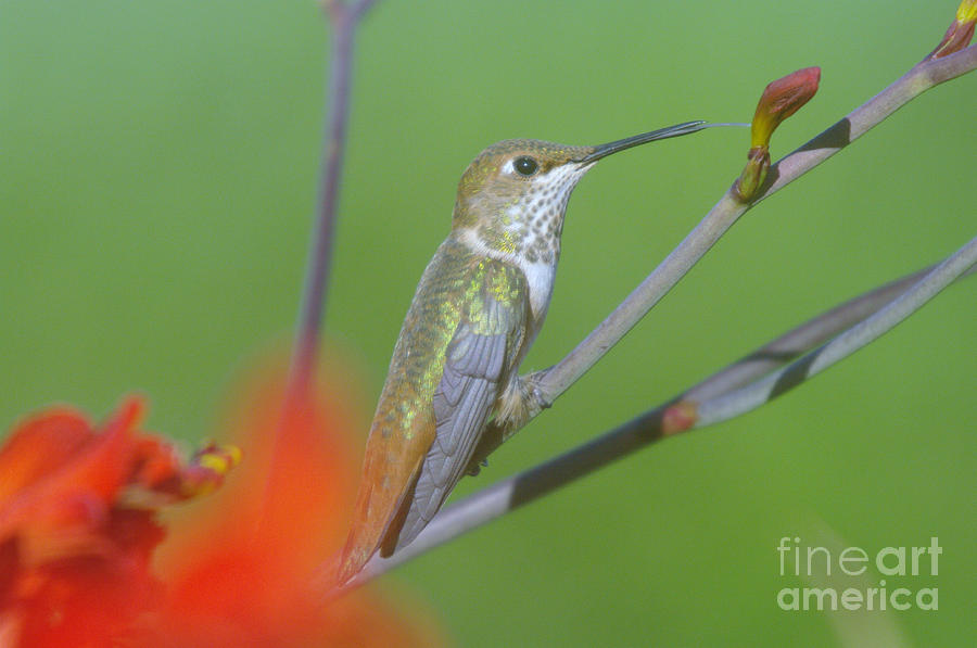 Tongue Photograph - The Tongue Of A Humming Bird  by Jeff Swan