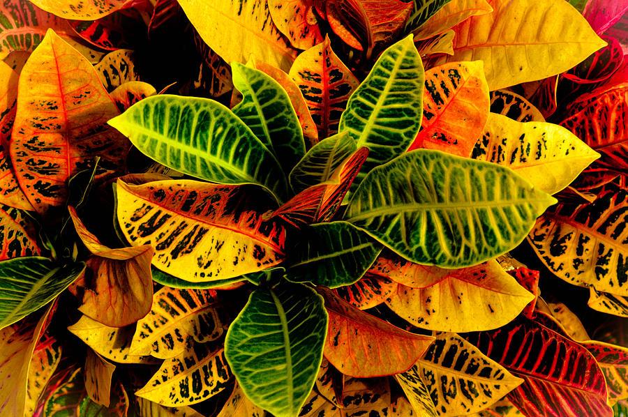 The Tropical Croton.  Hawaiian Tropical Plants Photograph - The Tropical Croton by Lisa Cortez