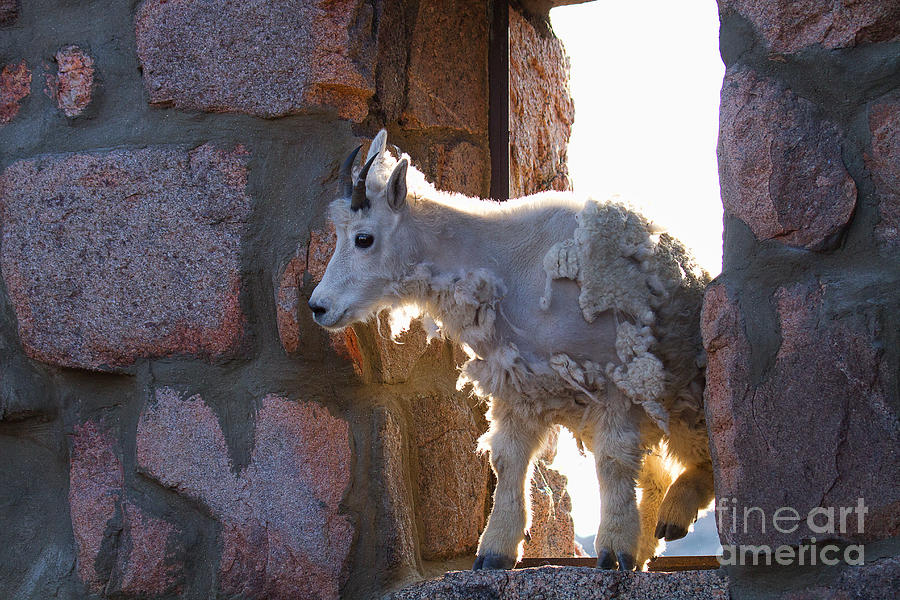 Mountain Goat Photograph - The Unexpected Guest by Jim Garrison