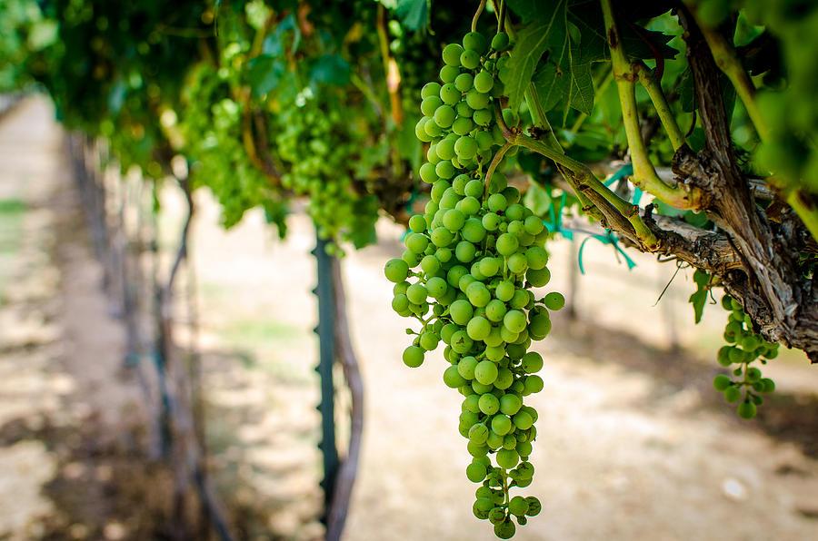 Grapes Photograph - The Vineyard by David Morefield