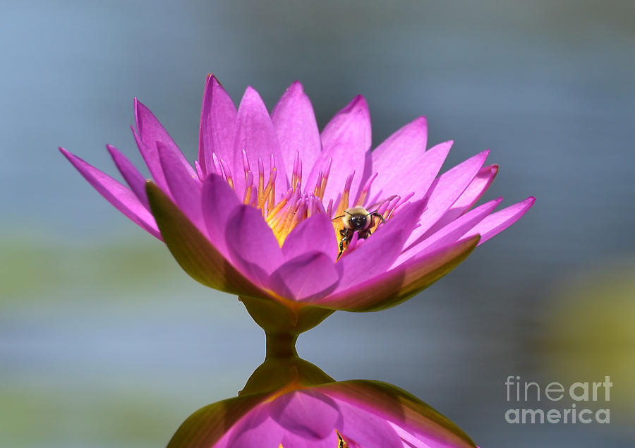 Flowers Photograph - The Water Lily And The Bee by Kathy Baccari