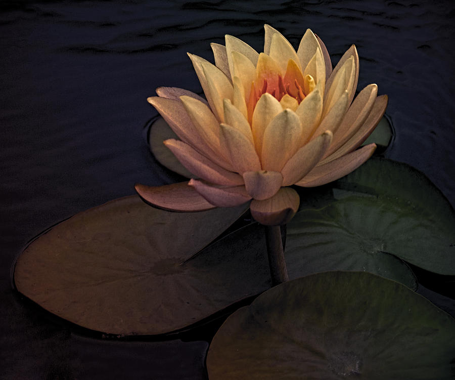 Photograph Digital Art - The Waterlily by Jill Balsam