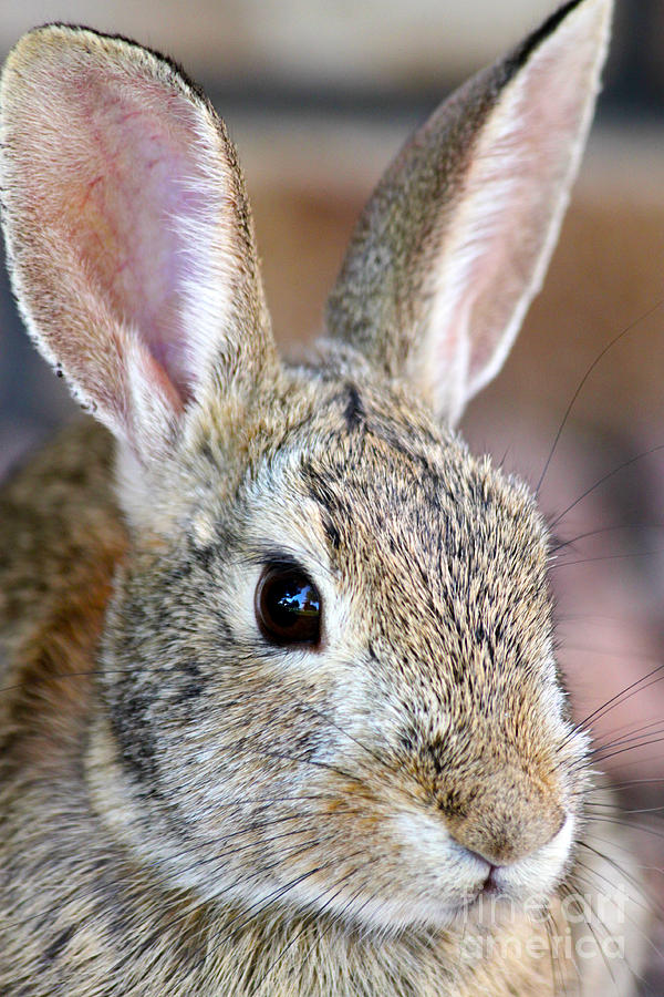 Alert Photograph - The Western Hare by Janice Pariza
