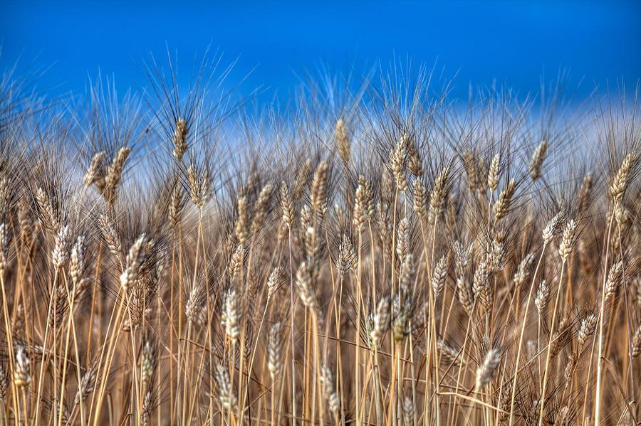 The Wheat Field by Karim SAARI