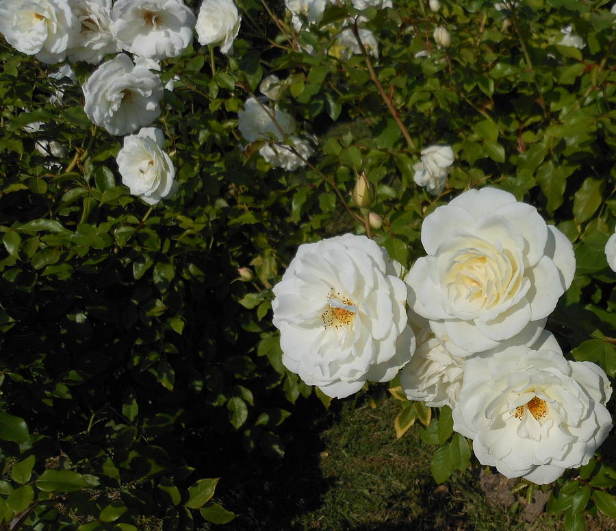 Rose Photograph - The White Rose Is A Dove by Kay Gilley