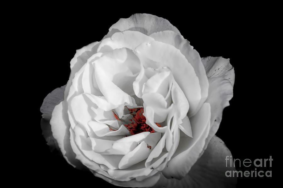Attractive Photograph - The White Rose by Ken Johnson