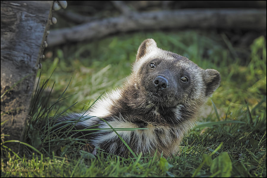 Wolverine Photograph - The Wolverine Skunk Bear Happy Face by LeeAnn McLaneGoetz McLaneGoetzStudioLLCcom