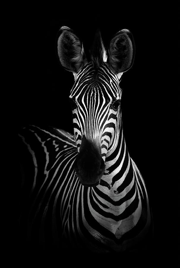 Zebra Photograph - The Zebra by Wildphotoart
