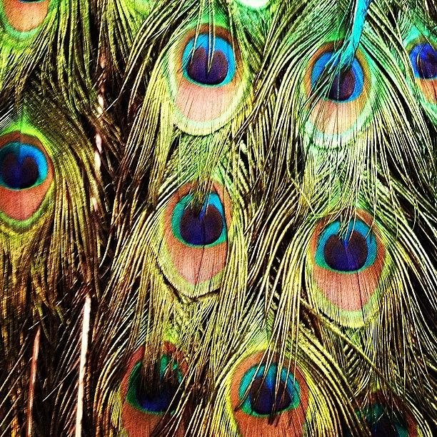 Peacock Feathers Photograph - Peacock Feathers by Blenda Studio