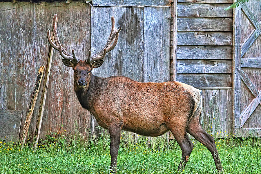 Elk Photograph - Theres An Elk By The Barn by Peggy Collins