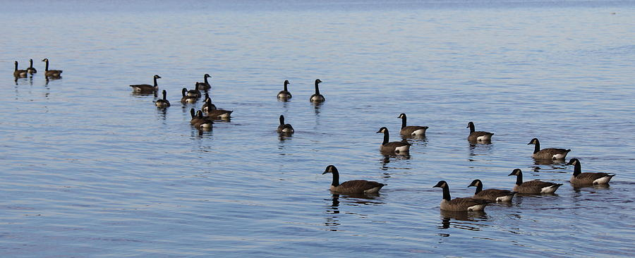 Geese Photograph - They Are Swimming by Carolyn Ricks
