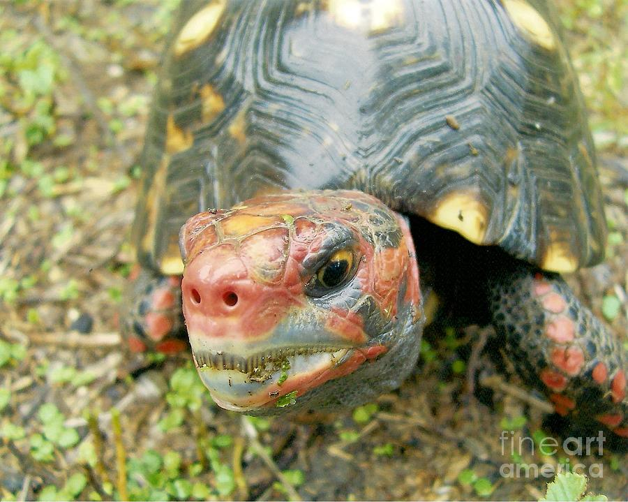 Tortoise Photograph - They Call Me Rudolph. by Richard Brooks