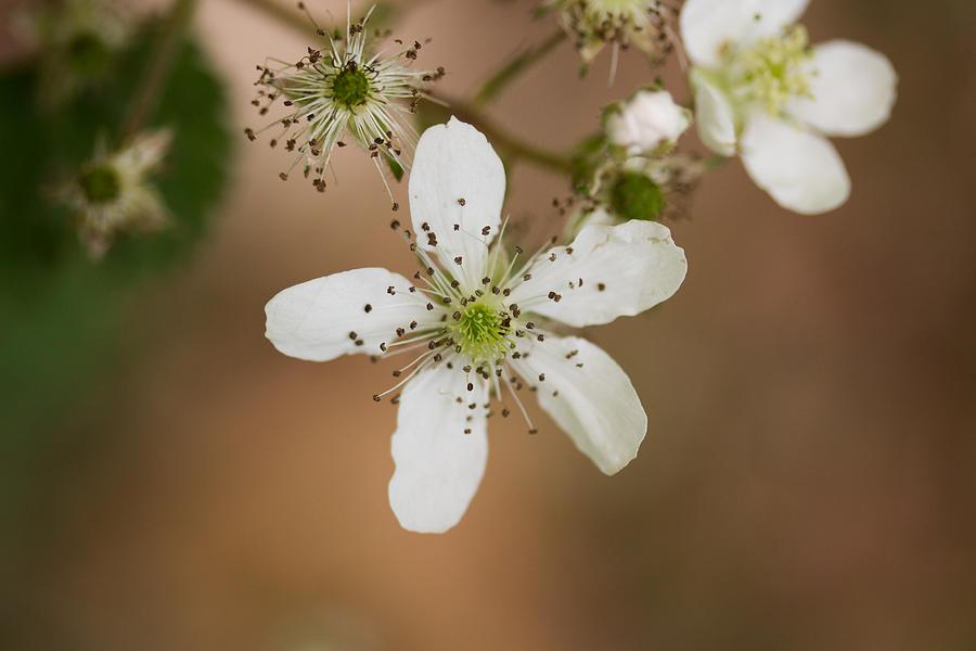 Thimbleweed Photograph - Thimbleweed by Kirkodd Photography Of New England