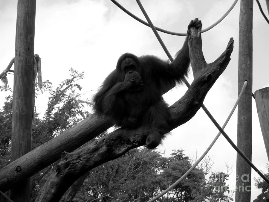 Orangutang Photograph - Thinking Of You Black And White by Joseph Baril