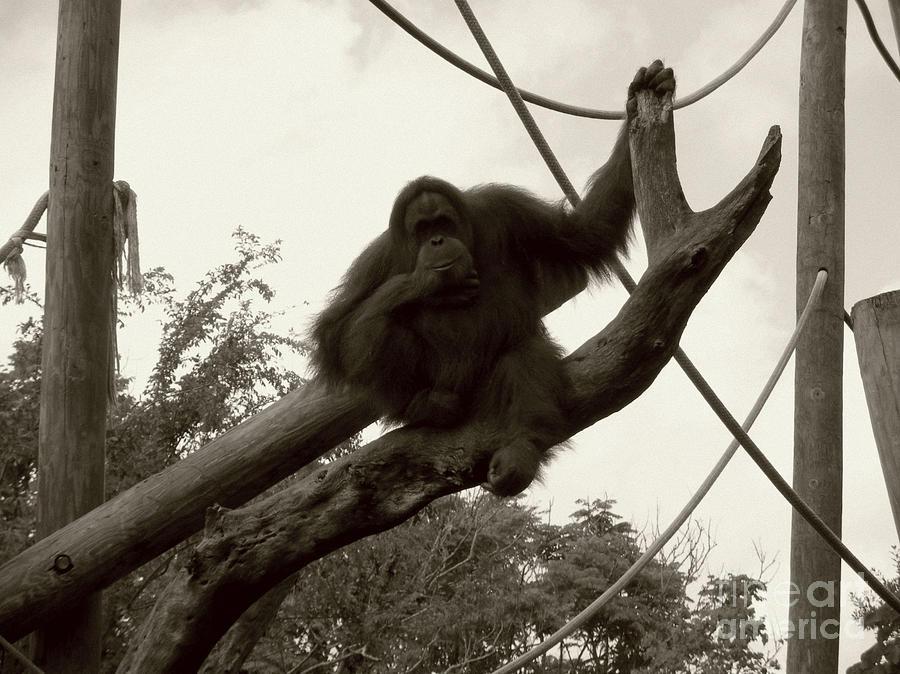 Orangutang Photograph - Thinking Of You Sepia by Joseph Baril