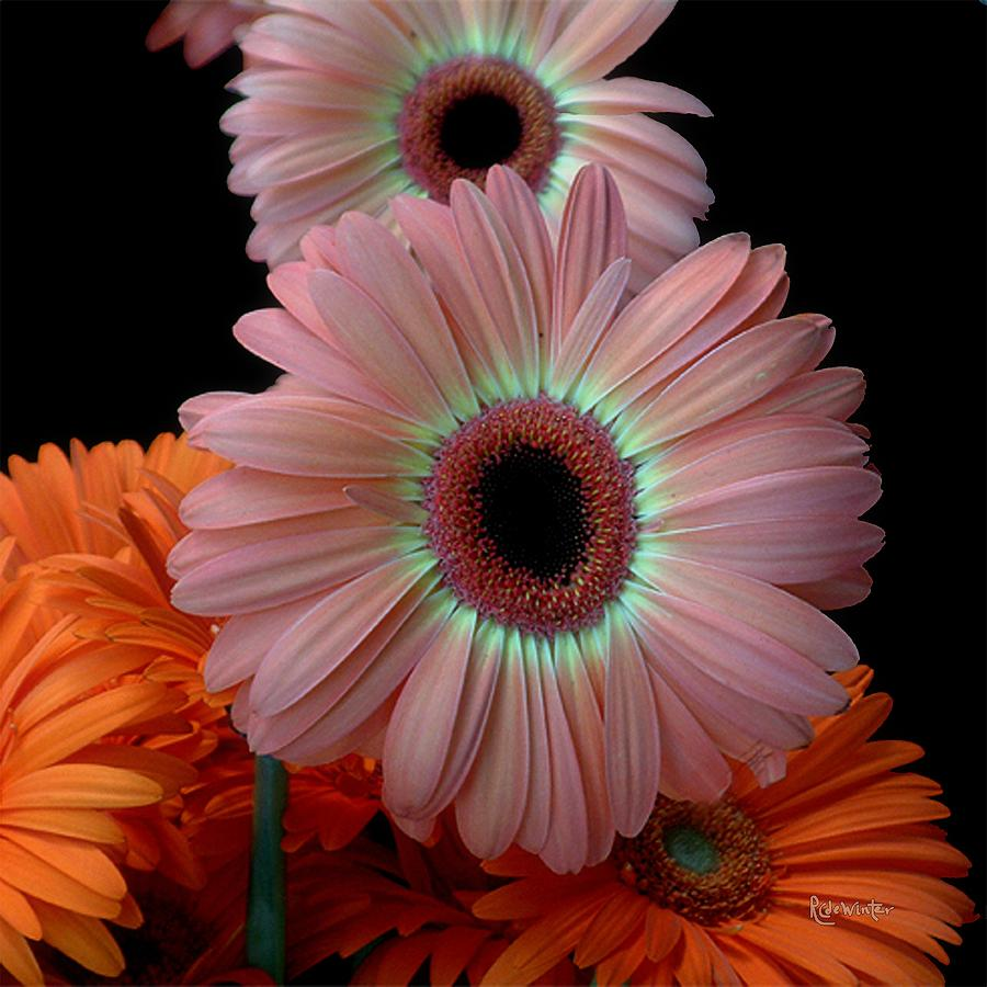 Gerberas Photograph - Third Place by RC DeWinter