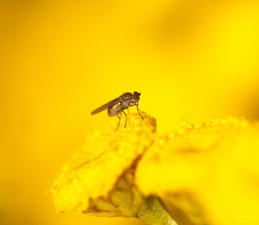 Drink Photograph - Thirsty Fly by Sarah Crites