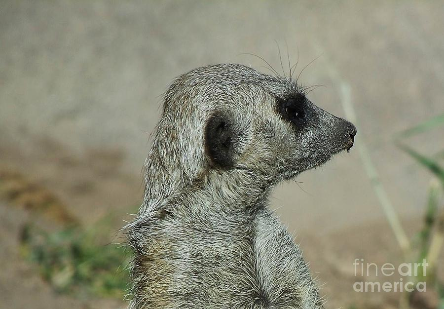Meerkat Photograph - This Is My Best Side by Donna Parlow