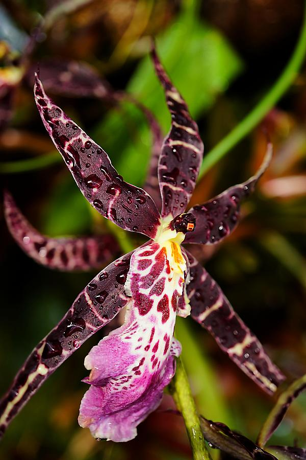 This Orchid Is A Star Photograph - This Orchid Is A Star by Beth Akerman