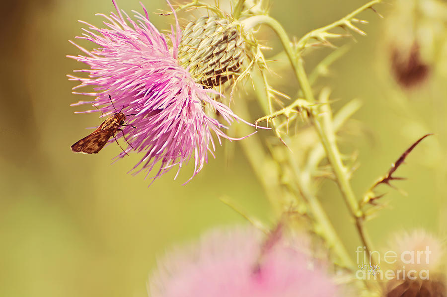 Thistle Photograph - Thistle And Friend by Lois Bryan