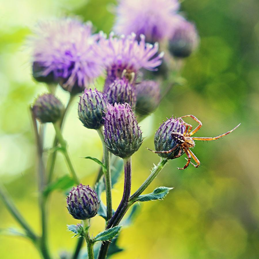 Thistle Photograph - Thistle And Spinner by Gynt