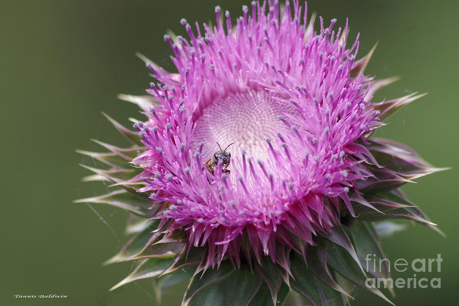 Thistle Photograph - Thistle And The Bee by Tannis  Baldwin