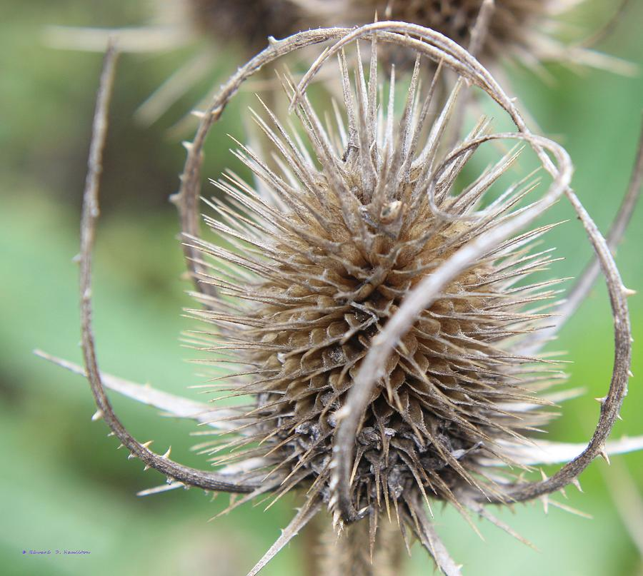 Thistle Photograph - Thistle by Edward Hamilton