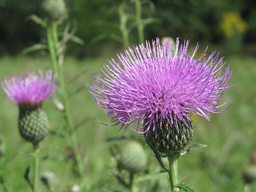 Purple Flower Photograph - Thistle by Jill Bell