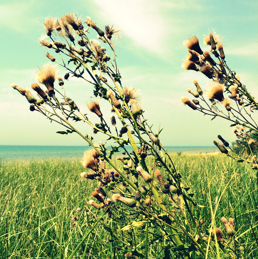 Horizon Photograph - Thistle On The Beach  by Michelle Calkins