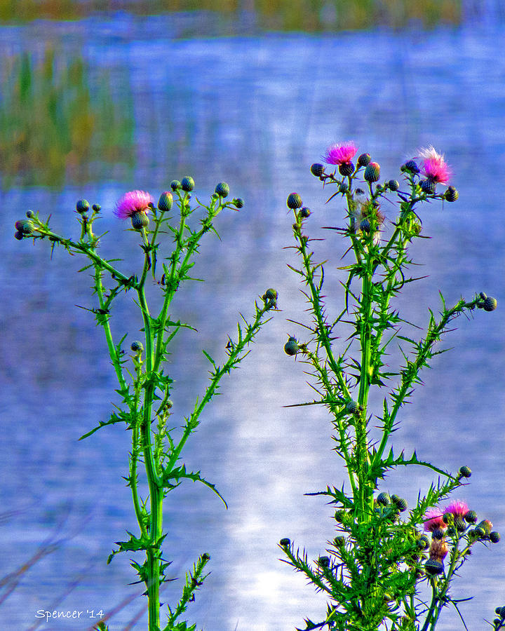 Pond Photograph - Thistle by T Guy Spencer