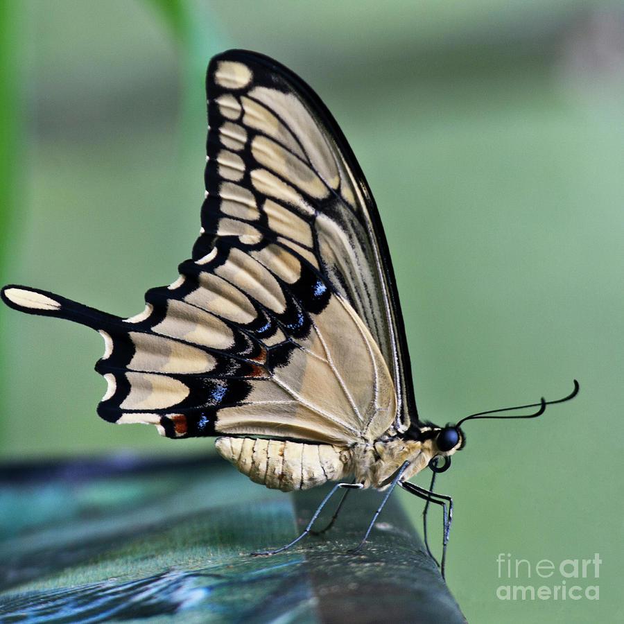 Heiko Photograph - Thoas Swallowtail Butterfly by Heiko Koehrer-Wagner