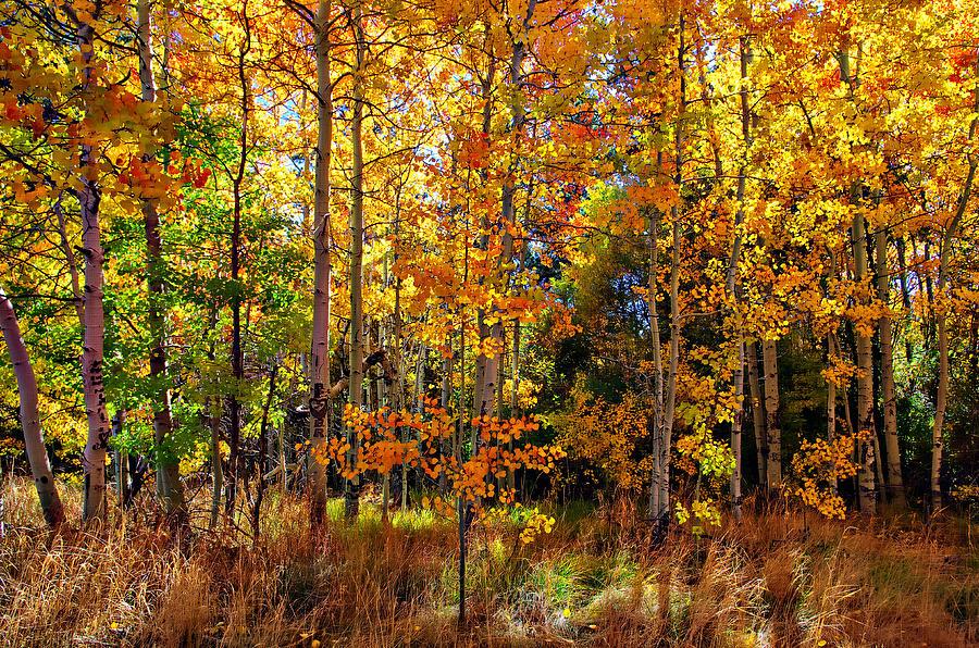 Aspen Trees Photograph - Thomas Creek Fall Color by Scott McGuire