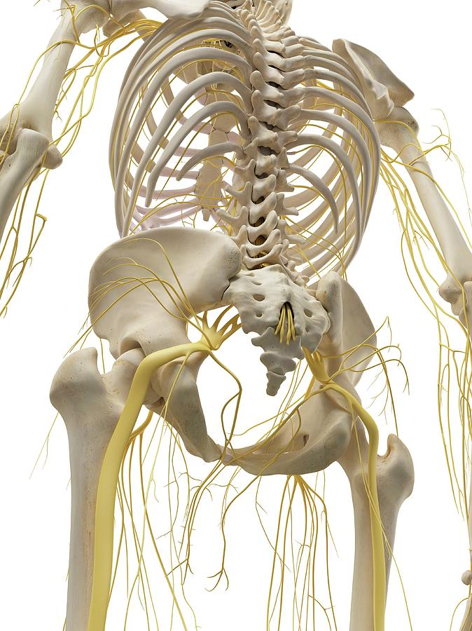 Artwork Photograph - Thoracic Bones And Nerves by Sciepro