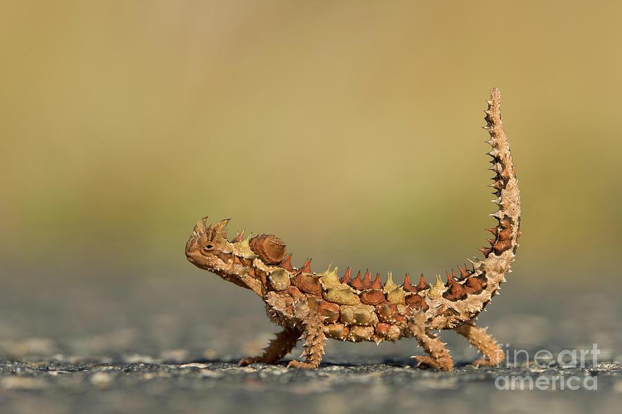 Thorny Devil Displaying  Photograph by Yva Momatiuk John Eastcott