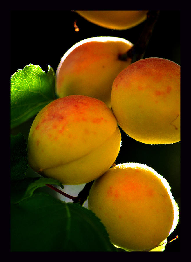 Apricots Photograph - Those Glowing Golden Apricots by Susanne Still