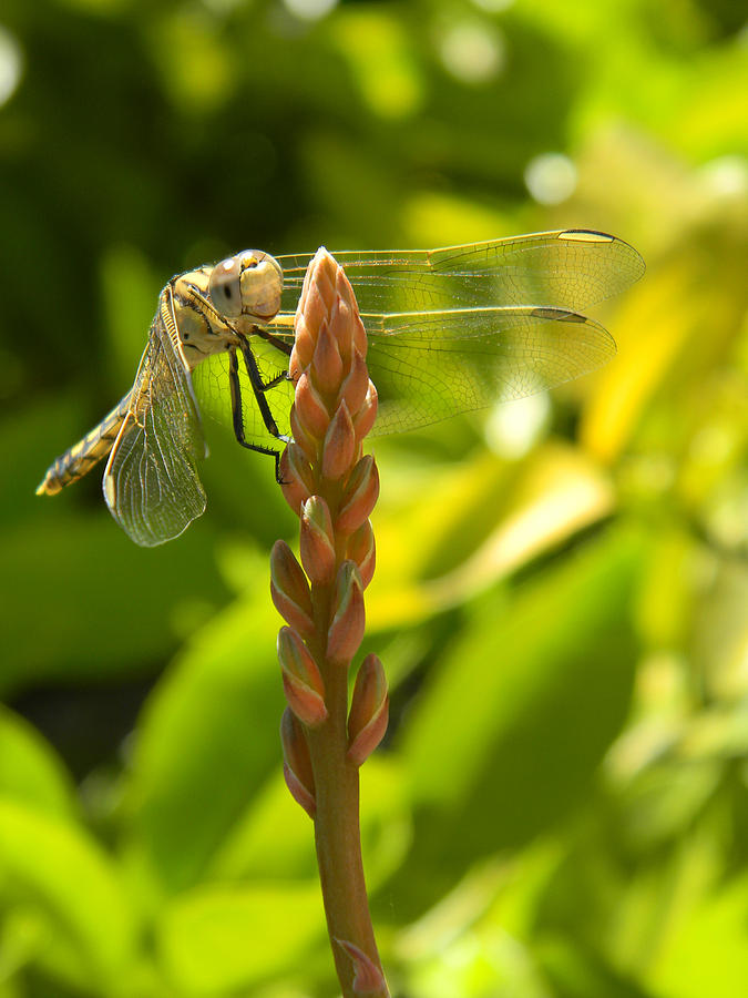 Dragonfly Photograph - Those Wings by Adel Nemeth