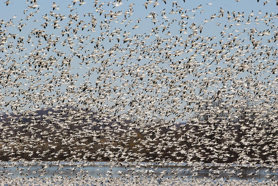 Thousands Of Snow Geese Photograph