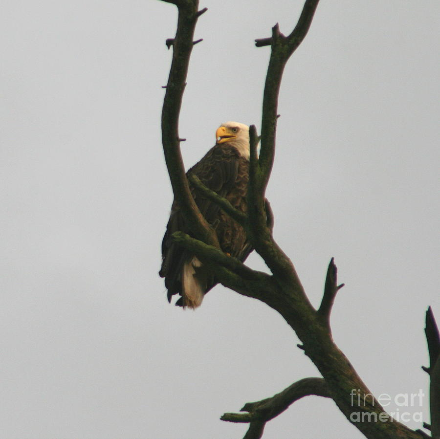 Bald Eagle Photograph - Threatened  by Neal Eslinger