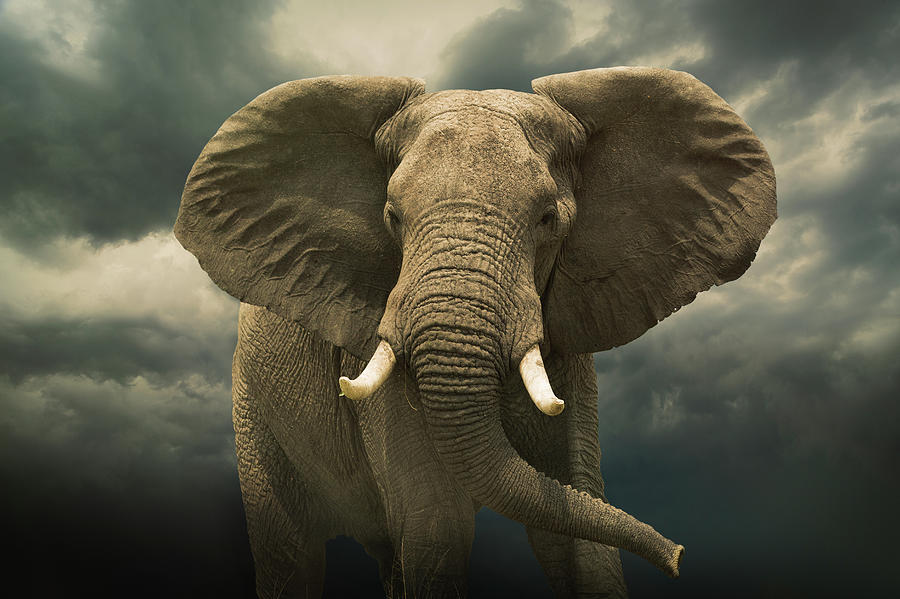 Threatening African Elephant Under Photograph by Buena Vista Images