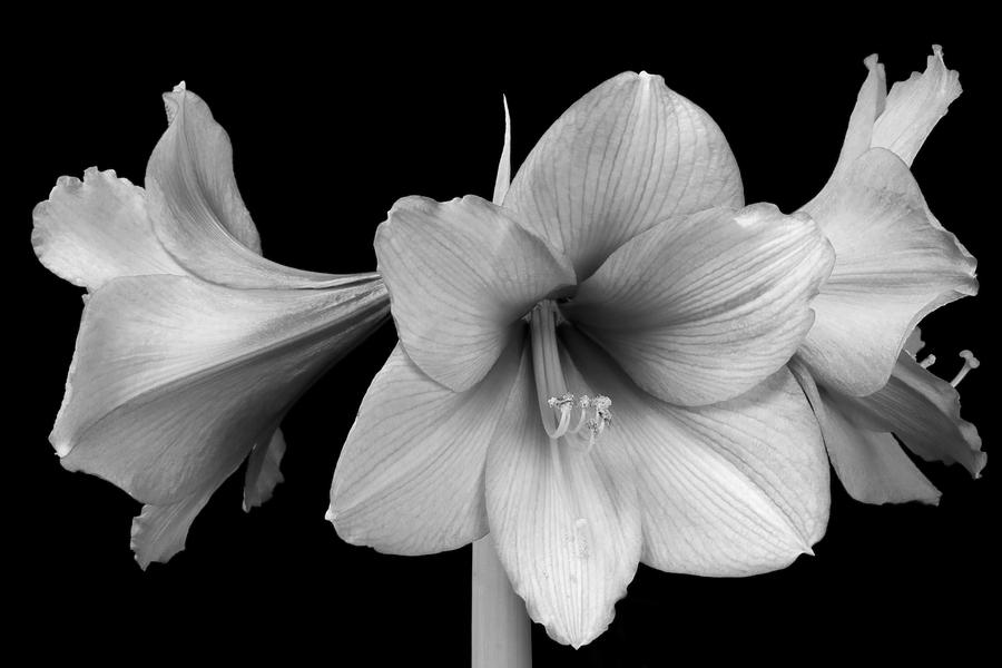 Three Amaryllis Flowers In Black And White Photograph By James Bo