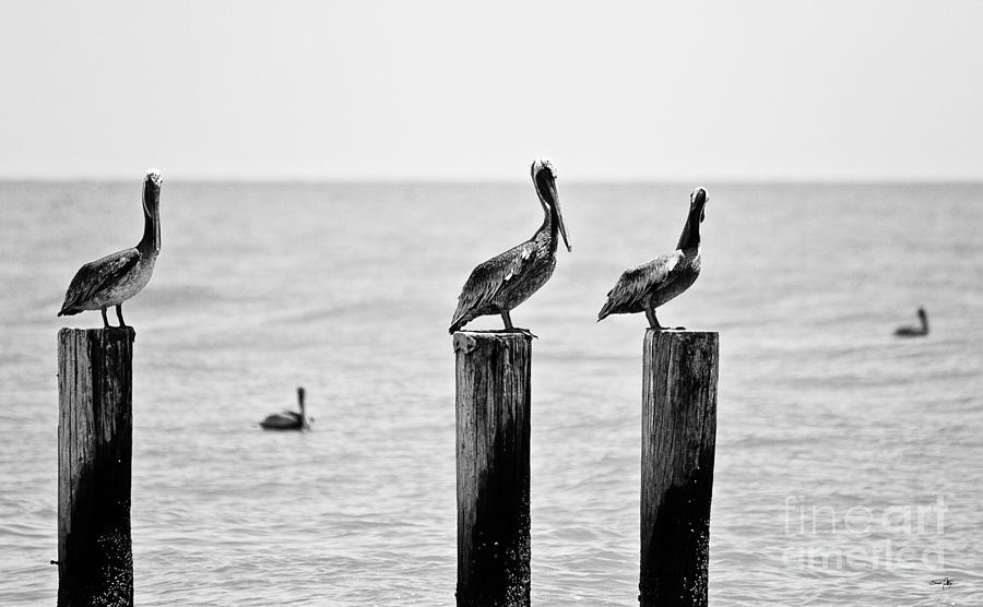 Pelican Photograph - Three Amigos by Scott Pellegrin