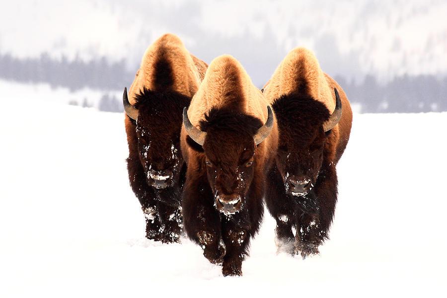 Yellowstone Photograph - Three Amigos by Steve Hinch