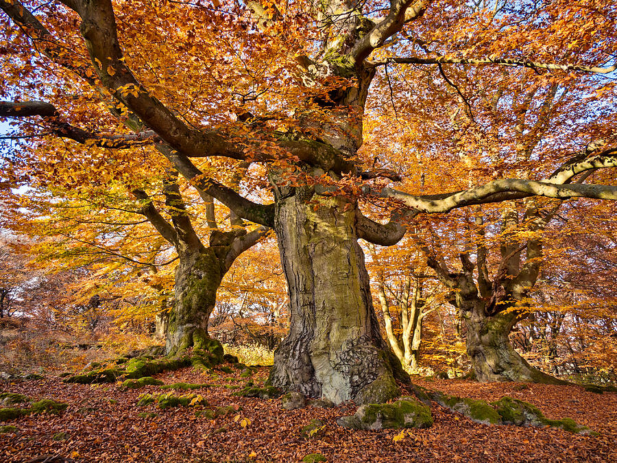 Alter Photograph - Three Ancient Beech Trees - Germany by Martin Liebermann