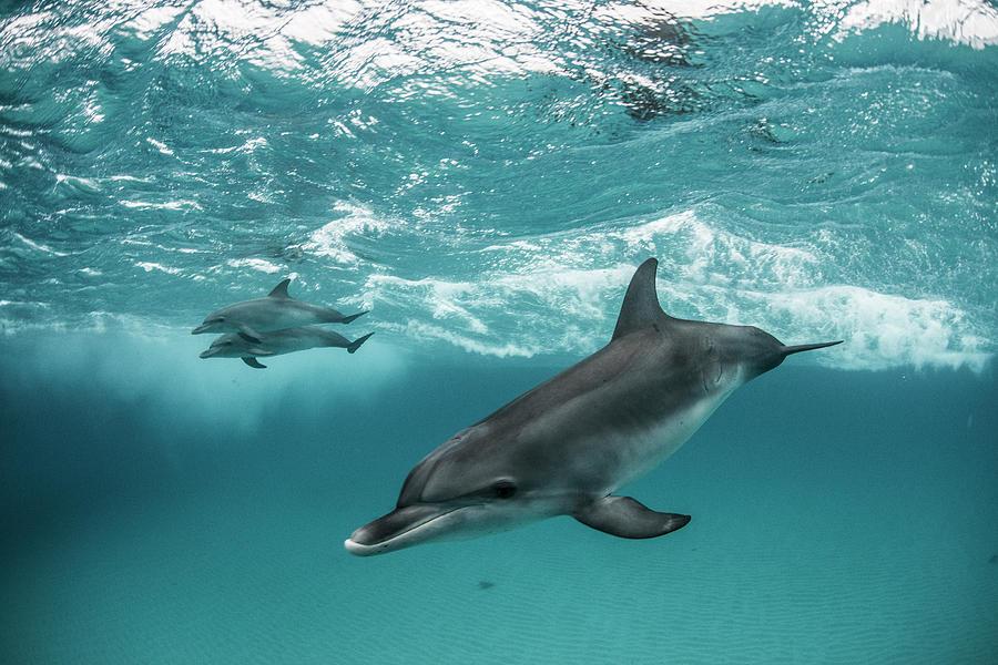 Three Atlantic Spotted Dolphins Photograph by Rodrigo Friscione