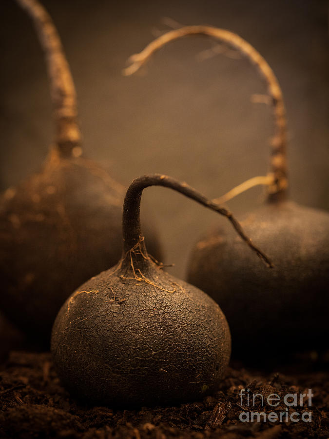Three Black Radish Portrait by Patricia Bainter