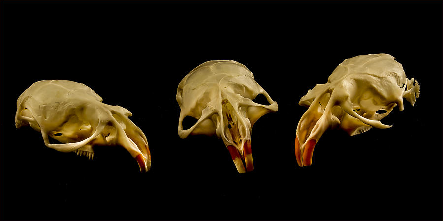 Skull Photograph - Three Blind Mice by Jean Noren