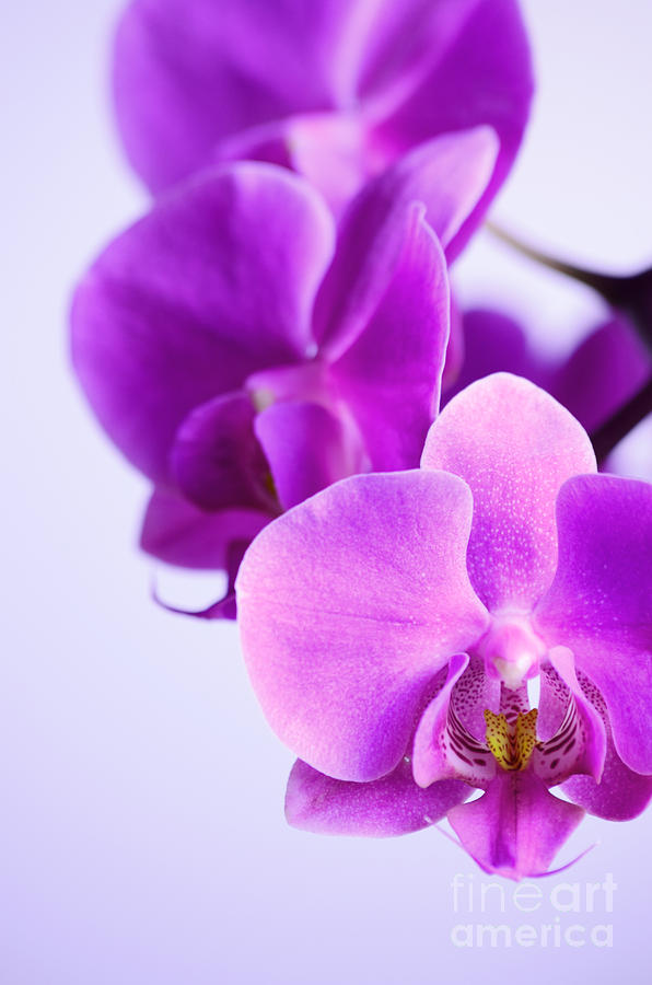 Three Blooming Orchid Photograph